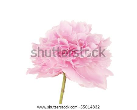 single pink peony flower isolated on white background - stock photo