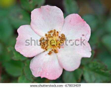 Single Pink Rose - stock photo