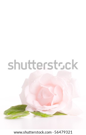 Single pink rose with green leaves isolated. - stock photo