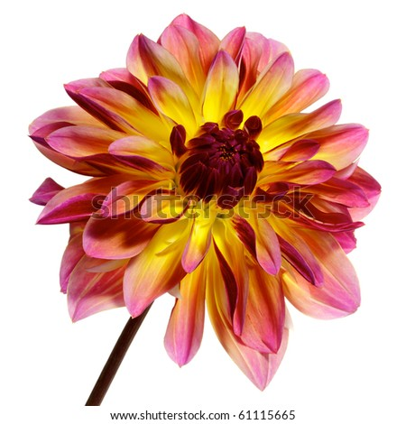 single pink with red and yellow dahlia isolated on white - stock photo