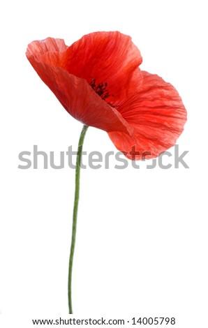 Single poppy - stock photo