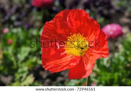Single Poppy close-up - stock photo