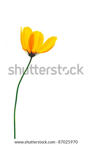 Single poppy isolated on white background . - stock photo