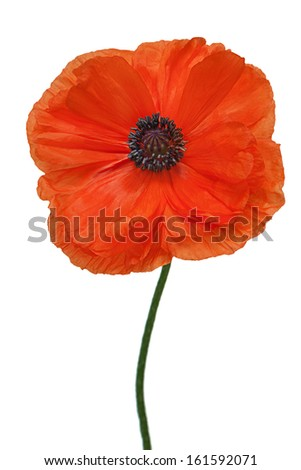 Single poppy isolated on white background. Closeup. - stock photo