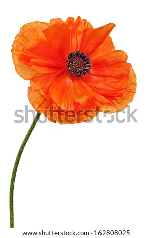 Single poppy isolated on white background. Closeup.