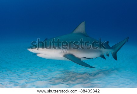 single pregnant bull shark - stock photo