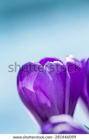 Single pretty deep purple crocus flower blooming outdoors in a green garden symbolic of the start of spring, close up side view - stock photo