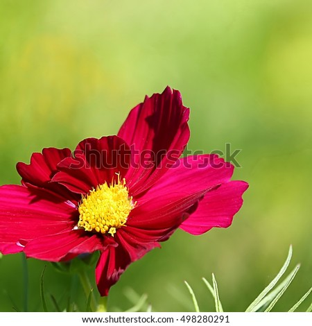 Single purple cosmos flower on a green background