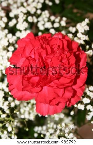 Single red carnation - stock photo