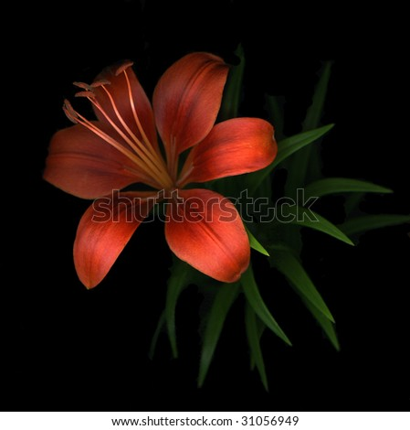 Single red day lily isolated on black background - stock photo