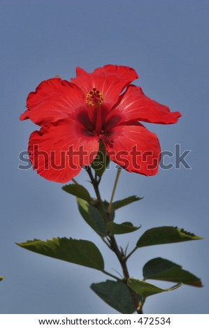 Single Red Flower against a blue background - stock photo