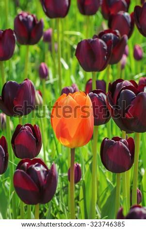 Single Red Flower amongst Black Tulips - stock photo
