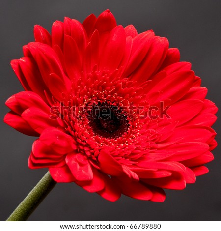Single red gerbera isolated on  gray background - stock photo