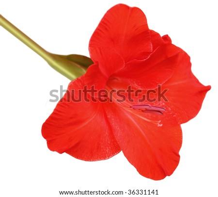 Single red gladiolus flower isolated on white background - stock photo