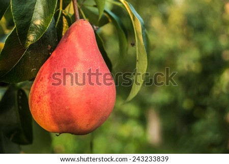 Single red pear on the tree. - stock photo