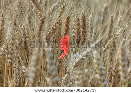 Single red poppy in the field of yellow ripe wheat - stock photo