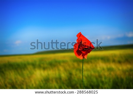 single red poppy in the sky with blurred background - stock photo