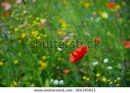 Single red poppy (Papaveraceae) against bright meadow flower background - stock photo