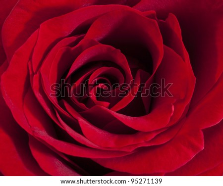 Single red rose, close up - stock photo