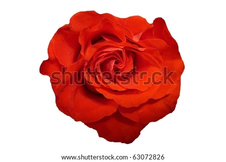 Single Red Rose Flower Isolated on White - stock photo