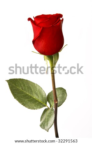 Single red rose isolated on white - stock photo