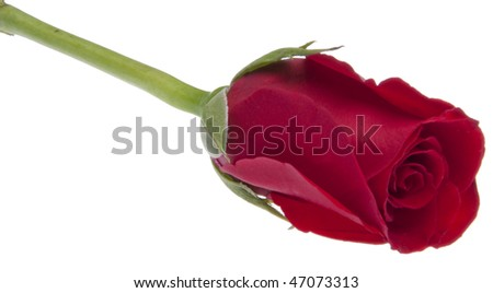 Single Red Rose isolated on white.