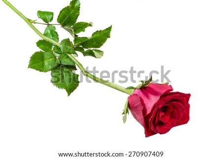 Single red rose isolated on white background - stock photo