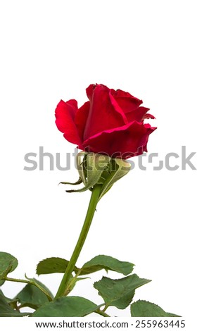 single red rose isolated with white background