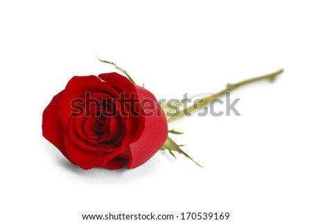 Single Red Rose Laying Down Isolated on White Background. - stock photo