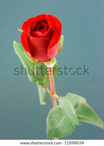 Single red rose on a blue background - stock photo