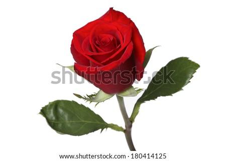 single red rose on white background  - stock photo