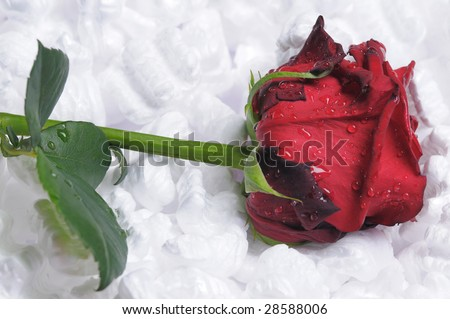 Single red rose packing with foam plastic crumb.