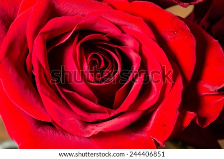 Single red rose showing bright petal detail - stock photo