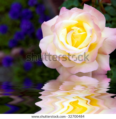 Single rose bloom with reflection - stock photo