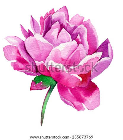single rose bus flower isolated on white. watercolor illustration - stock photo