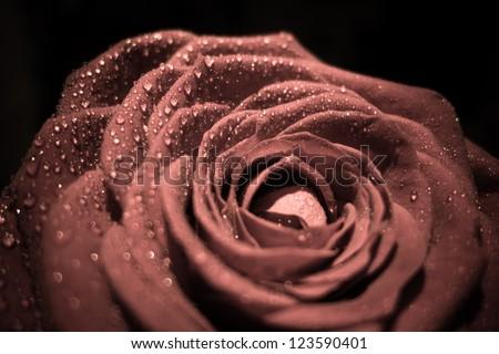 Single rose closeup - stock photo