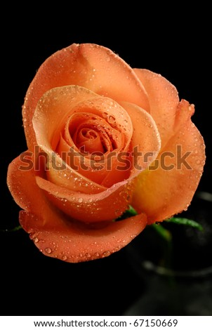 Single rose with dew drops photographed in close up on a black background - stock photo
