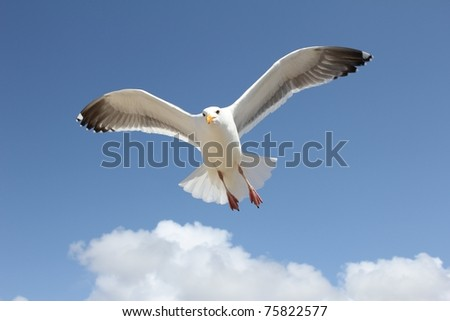 Single sea gull flying against background of blue sky and white clouds. - stock photo