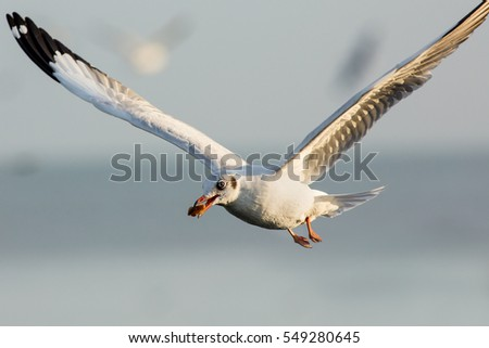 Single seagull in flight on grey sky