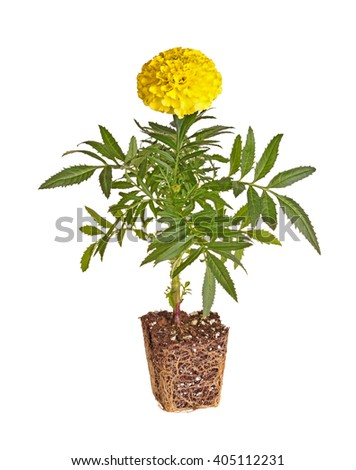 Single seedling of a marigold (Tagetes species) with yellow flowers showing the rootball ready to be transplanted into a home garden isolated against a white background - stock photo