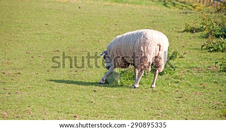Single sheep eagerly moving the toy around his field to get the treats out.  - stock photo