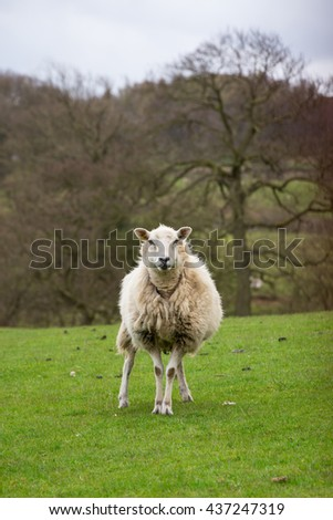 Single sheep ewe stood in a field