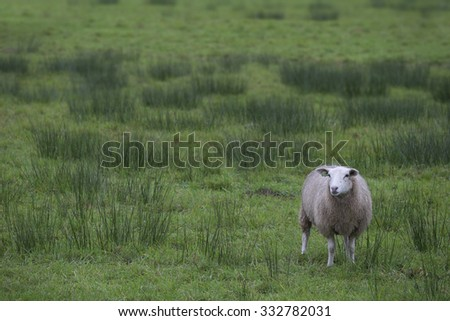 Single sheep in green meadow looking into camera