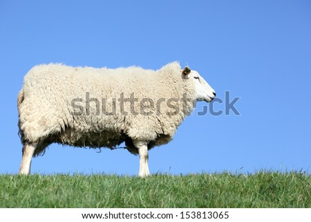 single sheep posing on dike - stock photo