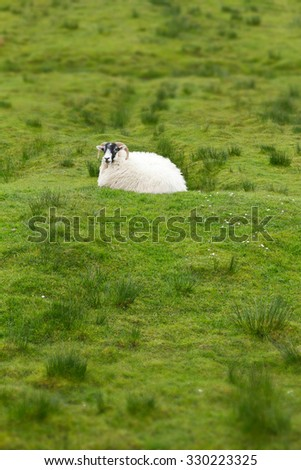 Single sheep resting on green grass in Scotland, upright format, background, copy space - stock photo