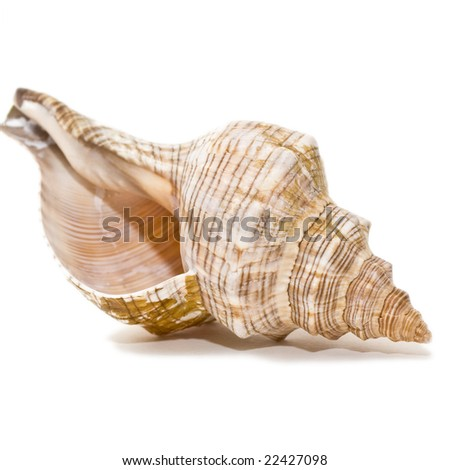 Single shell isolated on white