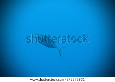 Single silver fish in the deep blue sea - pelagic scuba diving - stock photo