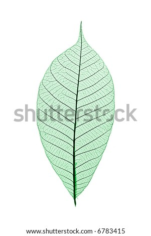 Single skeleton leaf isolated on white background - stock photo