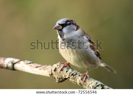 Single sparrow on a branch - stock photo
