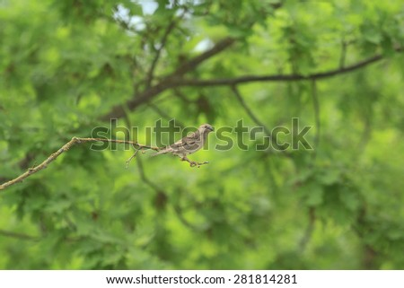 single sparrow sits on a branch with green tree on a background